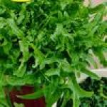 Семена салата