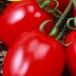 Семена штамбовых томатов