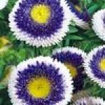 Семена цветов для клумб
