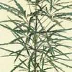Семена дизиготеки