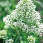 Семена кентрантуса