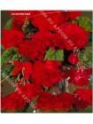 Бегония ампельная гигантская Красная (Begonia pendula giant)