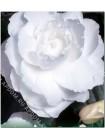 Бегония махровая Белая (Begonia tuberosa)