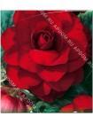Бегония махровая Темно-красная (Begonia tuberosa)