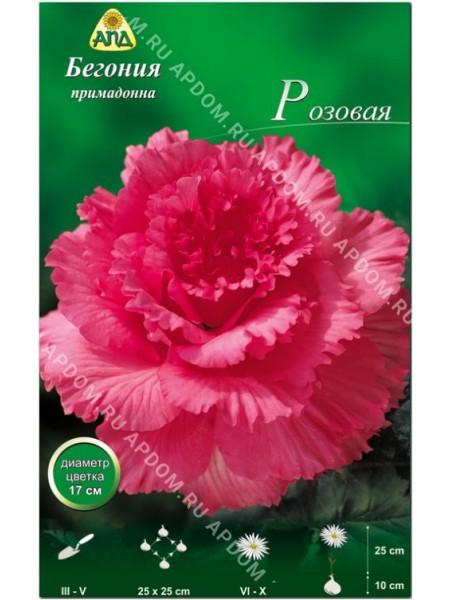 Бегония примадонна розовая