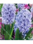 Гиацинт Скай Джекет (Hyacinthus Sky Jacket)