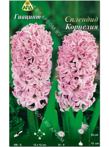 Гиацинт Сплендид Корнелия (Hyacinthus Splendid Cornelia)