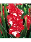 Гладиолус Зизани (Gladiolus Zizanie)