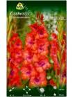 Гладиолус Триколор (Gladiolus Tricolor)
