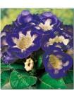 Глоксиния Тигрина Голубая (Gloxinia Tigrine Blue)