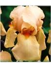 Ирис германский Нель Джейп (Iris germanica Nel Jape)
