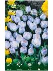 Крокус Блю Берд (Crocus chrysanthus Blue Bird)