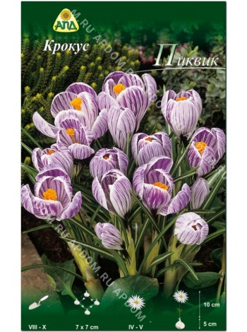Крокус Пиквик (Crocus vernus Pickwick)