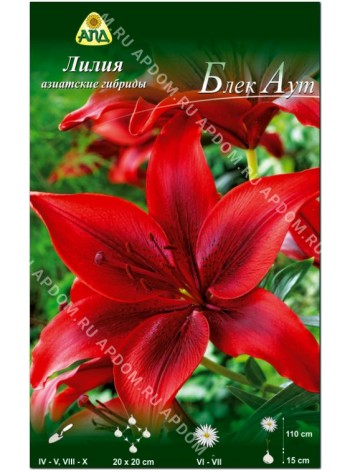 Лилия Блек Аут (Lilium asiatic Black Out)