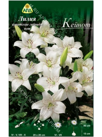 Лилия Кейнот (Lilium asiatic pot Keynote)