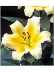 Лилия Конка д'Ор (Lilium OT Conca d'Or)