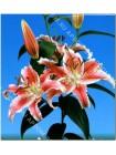 Лилия Кристал Стар (Lilium oriental Crystal Star)