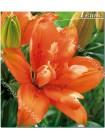 Лилия Орандж Твинс (Lilium asiatic Orange Twins)