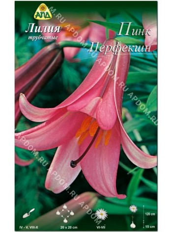 Лилия Пинк Перфекшн (Lilium trumpet Pink Perfection)