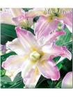 Лилия Софт Мьюзик (Lilium oriental Soft Music)