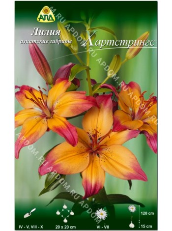 Лилия Хартстрингс (Lilium asiatic Heartstrings)