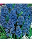 Мускари махровые Блю Спайк (Muscari armeniacum Blue Spike)