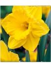 Нарцисс Карлтон (Narcissus Carlton)