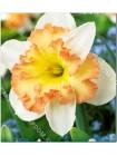 Нарцисс Таурус (Narcissus Taurus)