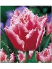 Тюльпан Бэлл Сонг (Tulipa Bell Song)