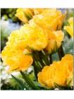Тюльпан Вайя Кон Диос (Tulipa Vaya Con Dios)