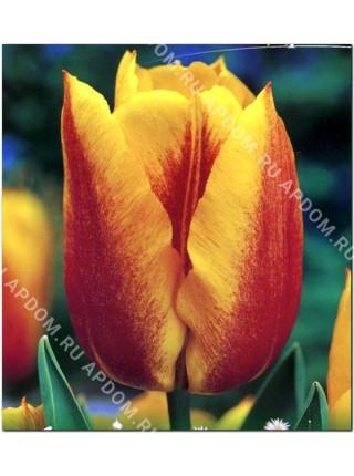Тюльпан Йокос Дрим