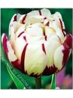 Тюльпан Карнавал де Найс (Tulipa Carnaval de Nice)