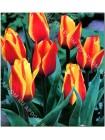 Тюльпан Кейп Код (Tulipa Cape Cod)