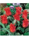 Тюльпан Криспа Ред Райдинг Худ (Tulipa Red Riding Hood Crispa)