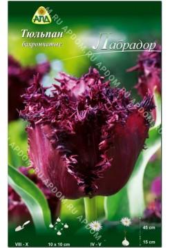 Тюльпан Лабрадор
