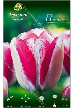 Тюльпан Плэйгёл