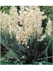 Юкка луковицы (Yucca filamentosa)