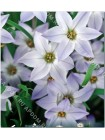 Ифейон унифлорум (Ipheion uniflorum)
