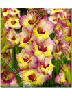 Гладиолус Саппоро (Gladiolus Sapporo)