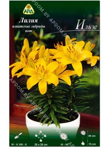 Лилия Ильзе (Lilium asiatic pot Ilse)
