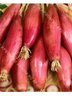 Лук репчатый Ред Лонг оф Флоренце (Allium cepa)
