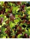 Салат листовой Цветные Змейки смесь (Lactuca sativa)