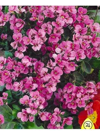 Арабис розовый