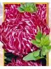 Астра китайская Ред Риббон    К.Ш. (Callistephus chinensis)
