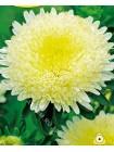 Астра китайская Сидония Кремово-желтая (Callistephus chinensis)
