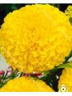 Бархатцы Каландо желтый (Tagetes erecta nana)