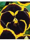 Виола Браниг (Viola x wittrockiana)