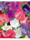 Душистый горошек Королевская смесь (Lathyrus odoratus)