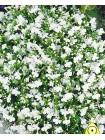 Лобелия Уайт Леди (Lobelia erinus)