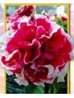 Петуния махровая Розовый Пируэт F1   (Petunia grandiflora )